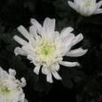輪菊(白)